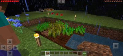 小麦の栽培